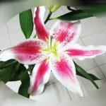 Weiß Pinke Lilie
