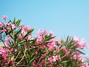 Pinke Blumen aus Jesolo
